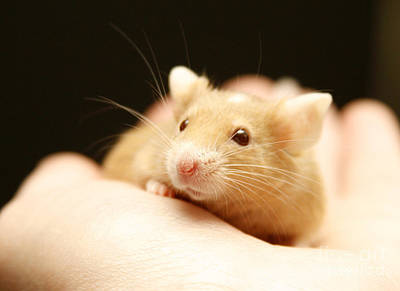 Photograph - Mouse by Masha Batkova