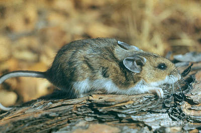 Mouse On A Log Print by Photo Researchers, Inc.