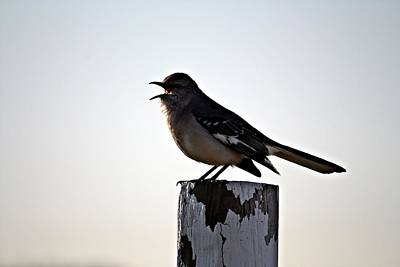 Photograph - Mouthy Mockingbird by KayeCee Spain