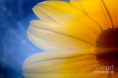Photograph - Moving Sunflower by Sherry Davis