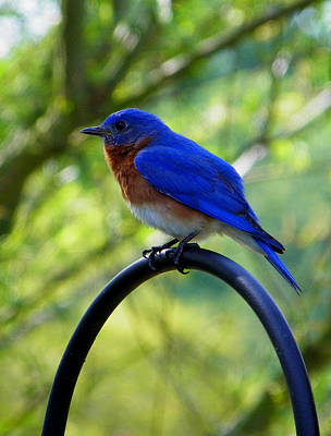 Photograph - Mr. Bluebird 2 by Judy Wanamaker
