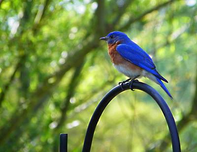 Photograph - Mr Bluebird by Judy Wanamaker