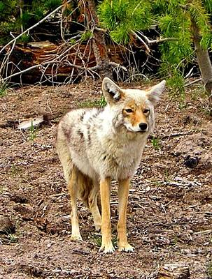 Photograph - Mr. Coyote by Ellen Heaverlo