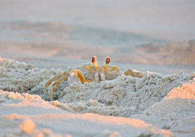 Photograph - Mr. Crabby Peeking by Eve Spring