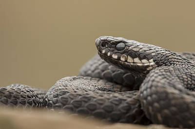 Hibernation Photograph - Mr. Grumpy by Andy Astbury