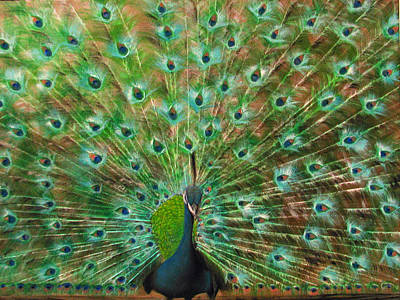 Painting - Mr. Peacock by Sherry Robinson