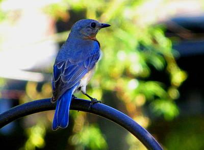 Photograph - Mrs. Bluebird by Judy Wanamaker