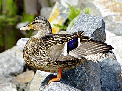 Photograph - Mrs. Mallard Duck by Marilyn Wilson