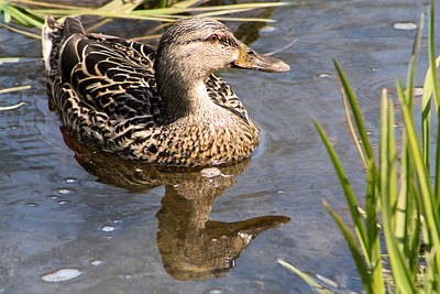 Karen Jordan Wall Art - Photograph - Mrs. Mallard by Karen Jordan