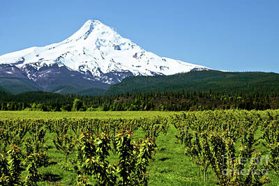 Photograph - Mt. Hood Oregon With Fruit Orchard In Foreground by Sherry  Curry