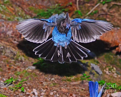Photograph - Mt Rainier Stellar Jay by Jack Moskovita