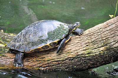 Photograph - Muddy Turtle by Jan Amiss Photography