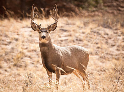 Photograph - Mule Deer Buck by Adam Pender