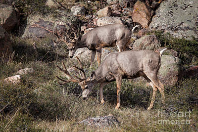 Photograph - Mule Deer Bucks by Ronald Lutz