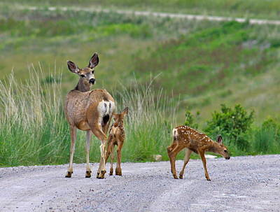 Mule Deer Fawn Photograph - Mule Deer Doe And Twin Fawns by Karon Melillo DeVega