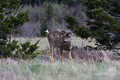 Photograph - Mule Deer Fawn by Alyce Taylor