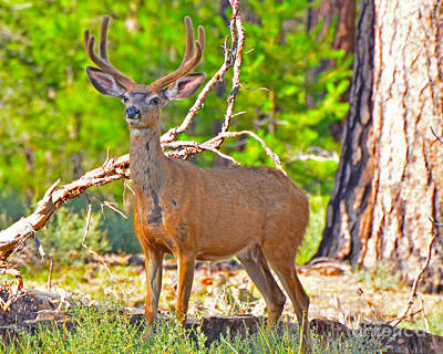 Photograph - Mule Deer by Jack Moskovita