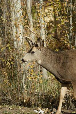 Mule Deer Buck Photograph - Mulie Buck 3 by Ernie Echols