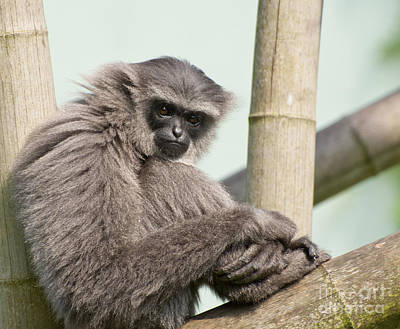 Animals Photograph - Muller's Gibbon by Andrew  Michael