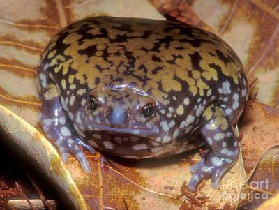 Mullers Termite Frog Art Print by Dante Fenolio