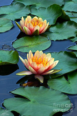 Photograph - Multicolored Water Lilies by Byron Varvarigos