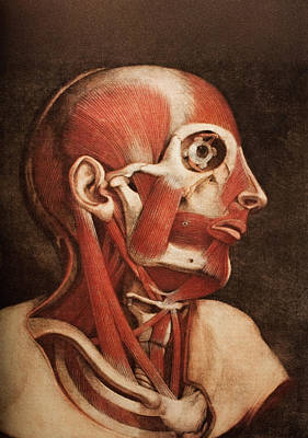 Muscles Of The Head And Neck Art Print