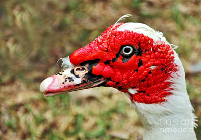 Muscovy Duck 2 Print by Kaye Menner