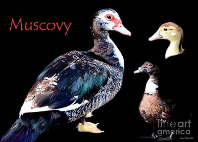 Photograph - Muscovy by Maria Urso