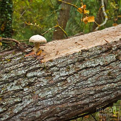 Photograph - Mushroom's Tree by Nabucodonosor Perez