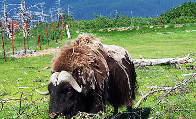 Photograph - Musk Oxen by Aimee L Maher Photography and Art Visit ALMGallerydotcom