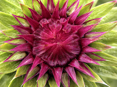 Photograph - Musk Thistle Bud by Wim Klomp