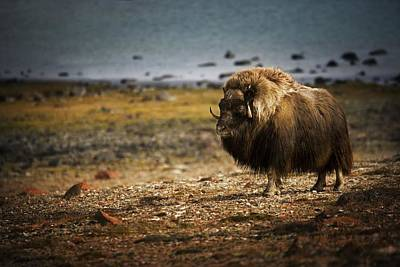 Muskox Ovibos Moschatusin The Northwest Art Print by Darren Greenwood