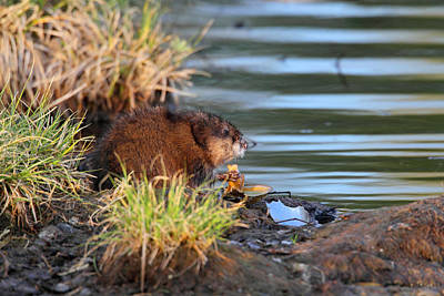 Photograph - Muskrat Feeding by Doug Lloyd