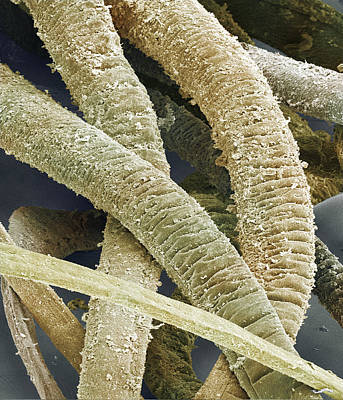 Polymer Photograph - Mussel Glue Threads, Sem by Power And Syred