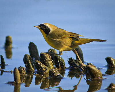 Common Yellowthroat Photograph - Must Keep Feet Dry by Carl Jackson