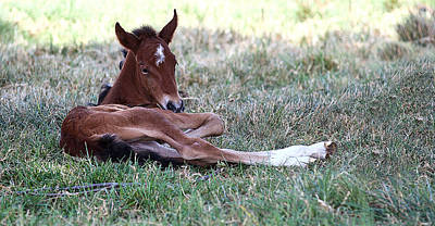 Photograph - Mustang Filly by Elizabeth Hart