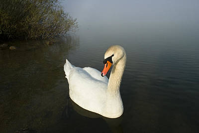 Photograph - Mute Swan Cygnus Olor On Lake, Bavaria by Konrad Wothe