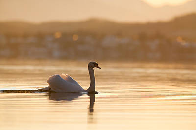 Swans Sunset Photograph - Mute Swan Displaying On Bavarian Lake by Olaf Broders