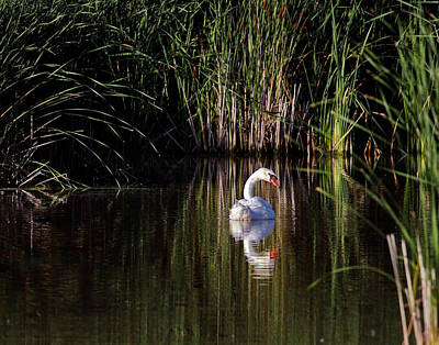 Jim Nelson Photograph - Mute Swan by Jim Nelson
