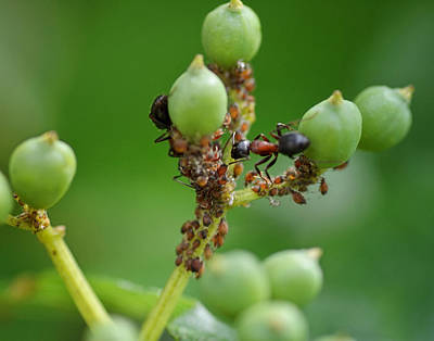 Ant Wall Art - Photograph - Mutualistic by Susan Capuano