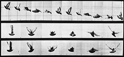 Photograph - Muybridge Locomotion, Pigeon In Flight by Photo Researchers