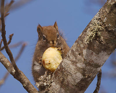 Red Squirrel Wall Art - Photograph - My Apple by Susan Capuano