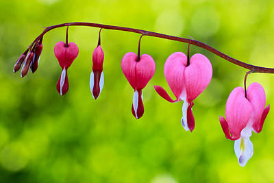 Photograph - My Bleeding Hearts by Heidi Smith