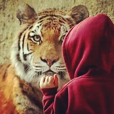 Animals Photograph - My Nephew The Tiger Whisperer #tiger by Melissa Wyatt
