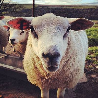 Sheep Photograph - My Newest Friend Mr Sheep! Ello by Dave Woodford
