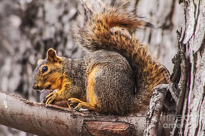 Eastern Fox Squirrel Photograph - My Nut by Robert Bales