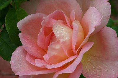 My Pink Rose Art Print by Connie Koehler