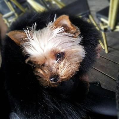 Instago Photograph - My #princess #dog #yorkie by Torbjorn Schei