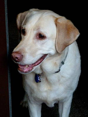 Photograph - My Yellow Lab by Beth Akerman