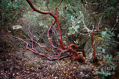 Altered Photograph - Mysterious Manzanita by Laura Iverson